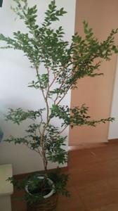 kashinoki140729